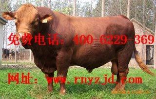 养殖西门塔尔牛、改良育肥肉牛犊 免费提供养殖手册