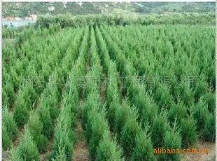 供应绿化苗木刺柏