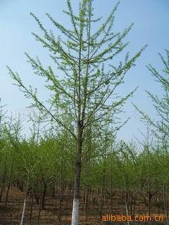 专业销售低价银杏树及各种绿化工程苗木