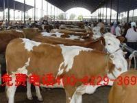 山西牛羊养殖 出售杂交牛 改良肉牛 育肥肉羊 种公羊