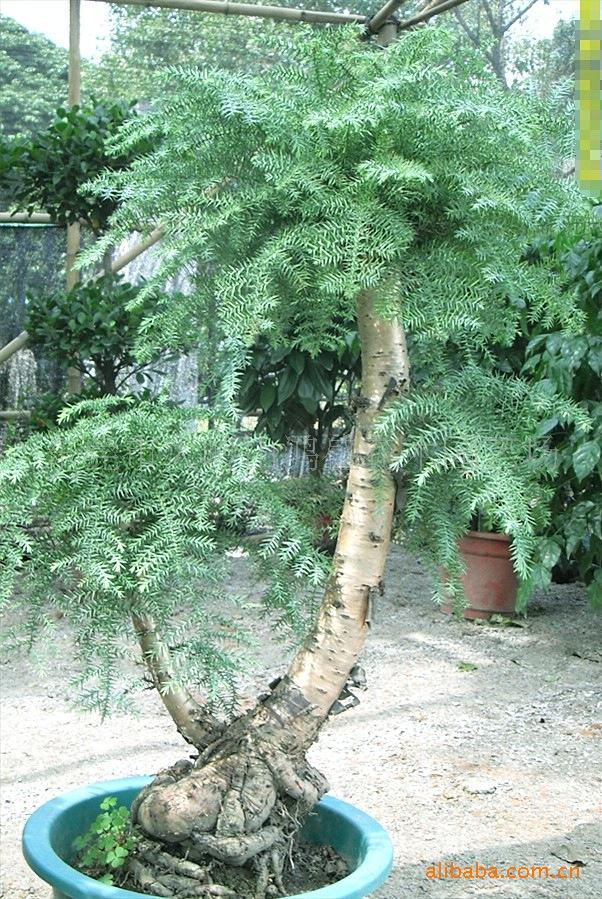室内景观树名称_【仿真巫山红叶仿真枫树专用室内观赏仿真植