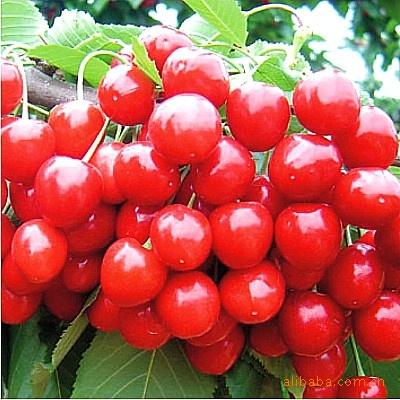 优质樱桃种子,发芽率高的樱桃种子,山东樱桃种子,好樱桃种子