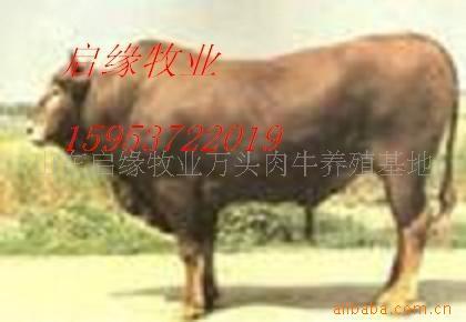 想发家不用愁养殖改良优质肉牛种苗赚大钱传授养殖技术提供配料法