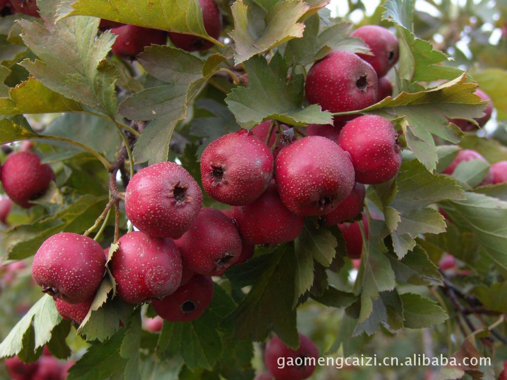 提供红果之乡兴隆产铁山揸,果品优良,价格绝对优惠,欢迎垂询
