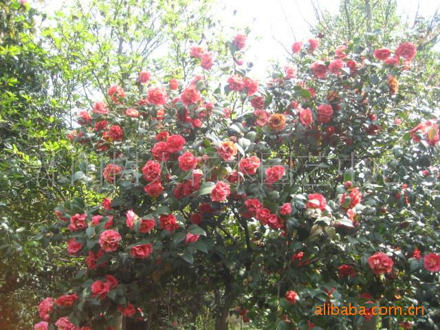 世3500余年大树仍枝叶繁茂果实累累.是树中的老寿星.在山东日照浮