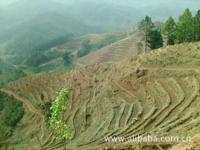 100亩铁观音茶山转承包-山林价格及生产厂家(