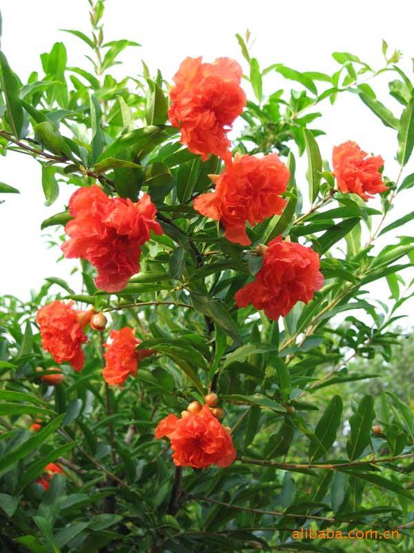 【基地直销】供应优质花卉苗木日本樱花、花石榴、果石榴、黄栌、