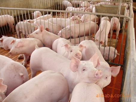 苗猪仔猪繁育中心种猪重点养殖推广销售中心--江苏宿迁为民猪业