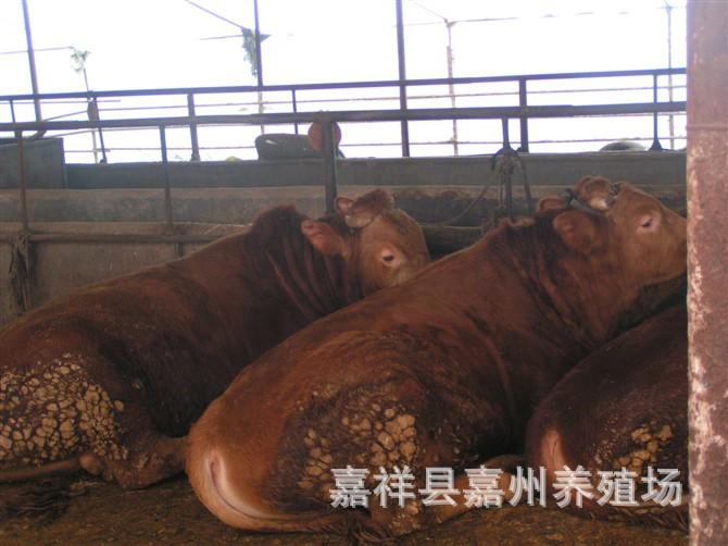 供应纯种肉牛鲁西黄牛,养殖鲁西黄牛效益分析