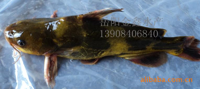 供应鲜活水产(淡水鱼)--黄古鱼
