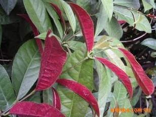 出售花卉苗木 常绿灌木 红背桂 青紫木 赏叶又观花