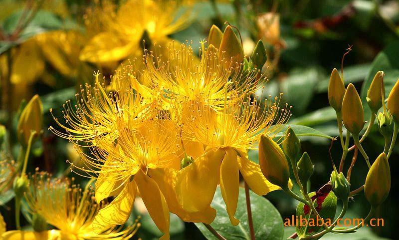 供应漂亮的金丝桃 花卉 苗木