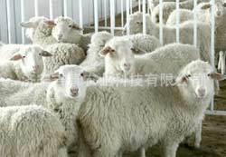 济宁吉康供应各种优质果树绿化苗木淡水养殖种苗成苗 小尾寒羊