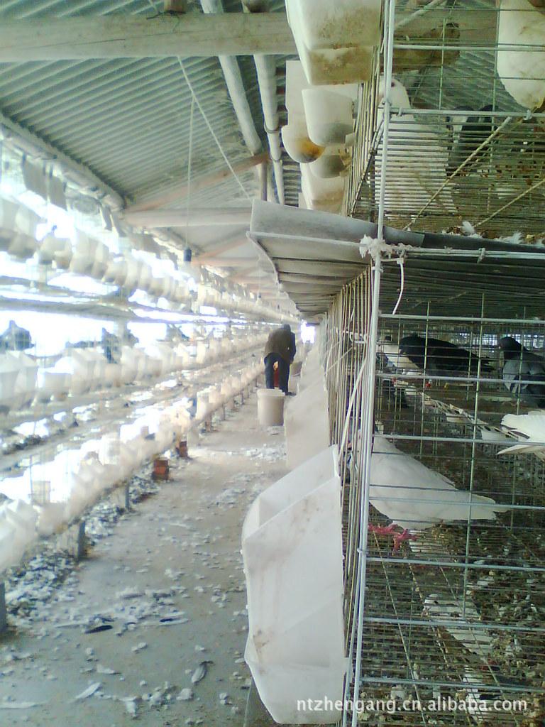 养殖业机械 肉鸽养殖设备肉鸽笼专利产品镀锌好有阳台,食具不脏,省图片