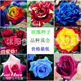本苗圃有100多种玫瑰苗 盆栽植物花卉 玫瑰花苗 3年苗当年开花