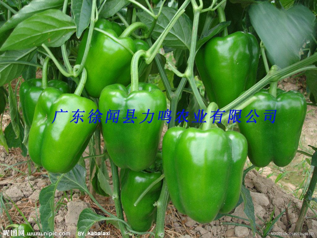 大量供应青椒 辣椒 产地种植商直销