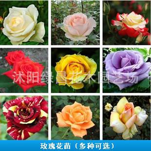 蓝玫瑰苗盆栽 大花月季花卉玫瑰花苗2年苗 当年开花内有22个品种