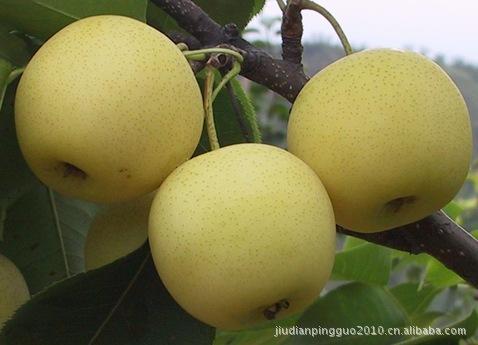 各种各样  黄金梨苹果(图) 质量服务一流 价格便宜
