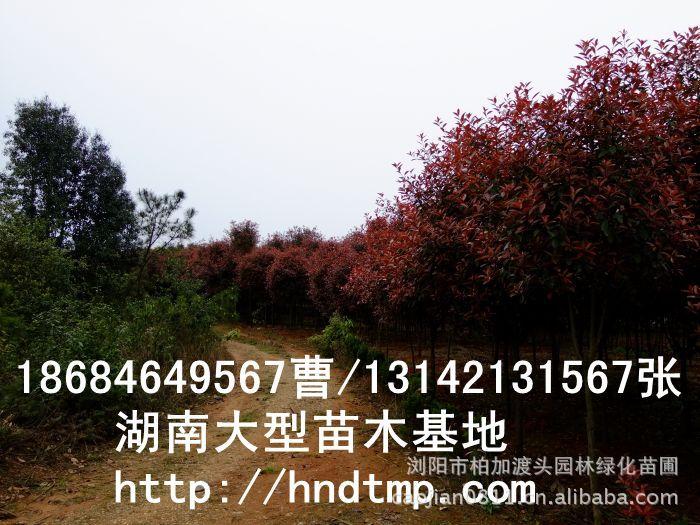 红叶石楠球 红叶石楠球价格 湖南哪里有红叶石楠球买 长沙红叶石楠基地 长沙苗木 长沙苗圃 湖南苗木