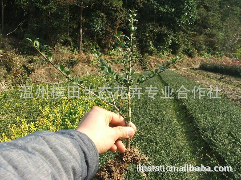 供应 绿化 雁荡 桂花 丹桂 扦插苗 15-30公分