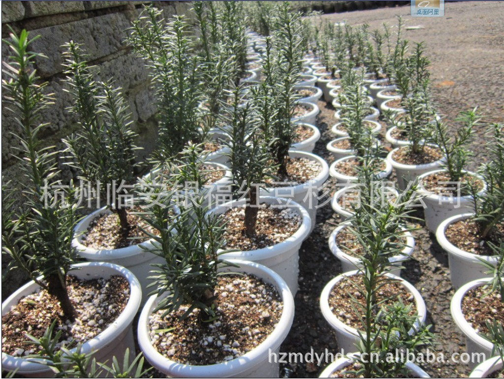 【曼地亚红豆杉1号】批发零售曼地亚红豆杉 红豆杉 盆景