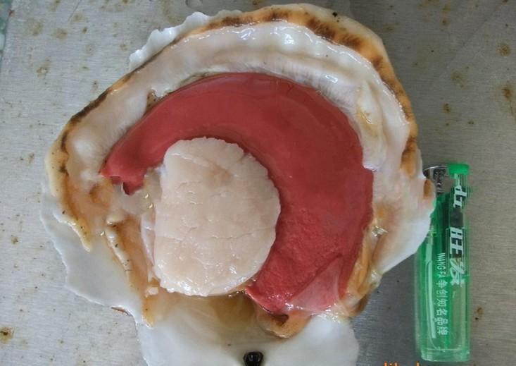 半壳夏夷贝  夏夷贝  贝类  冷冻粗加工水产品