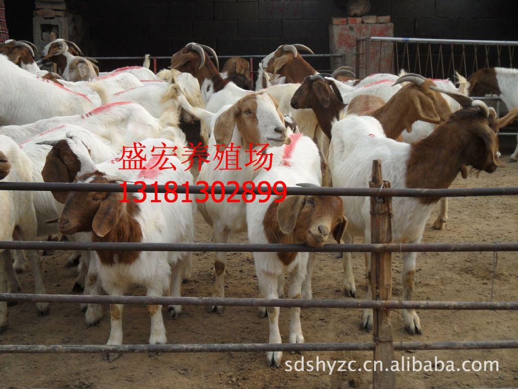 波尔山羊多少钱一只 山东山羊养殖基地 四川黑山羊养殖基地