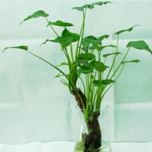 盆栽花木\滴水观音 \净化空气