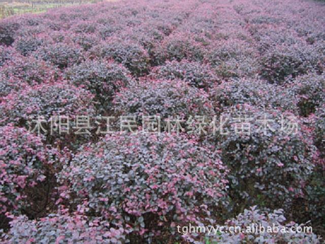 供应红花继木,红花继木球,红花继木苗,红花继木绿篱花木