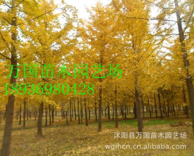 【大型银杏】大型银杏树 银杏苗木 绿化专用银杏树