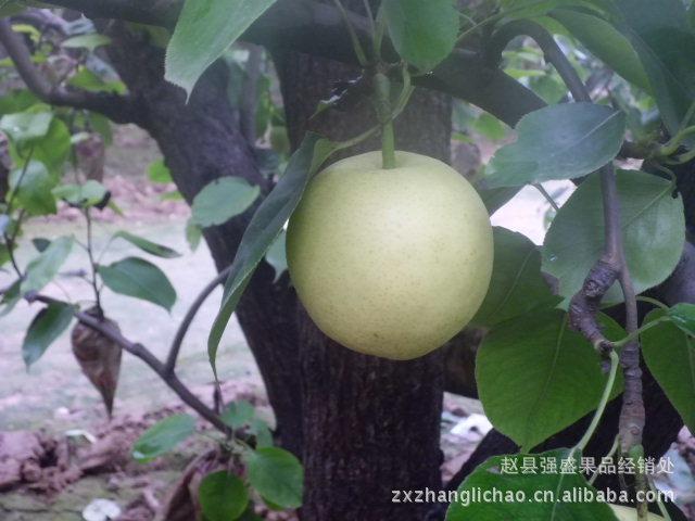 黄冠梨 雪花梨 鸭梨 果品经销处