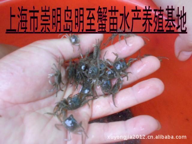 優質蟹苗 大閘蟹苗 獨特養殖方式台灣特供