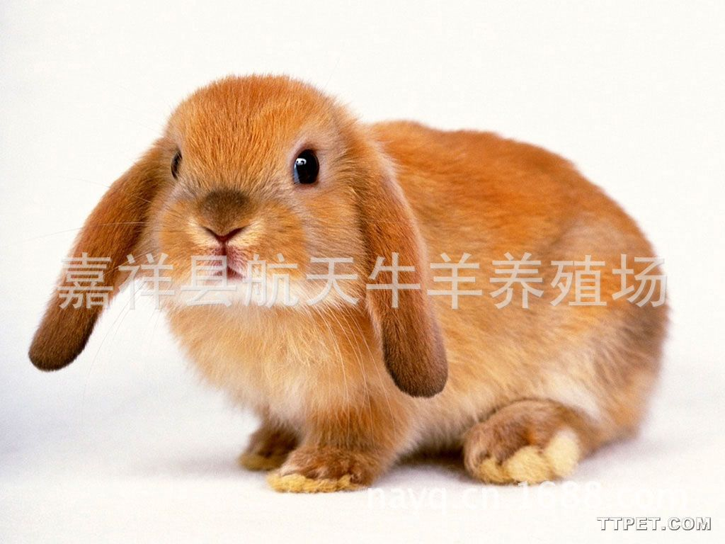供应法系獭兔,美系獭兔,德系獭兔,量大从优