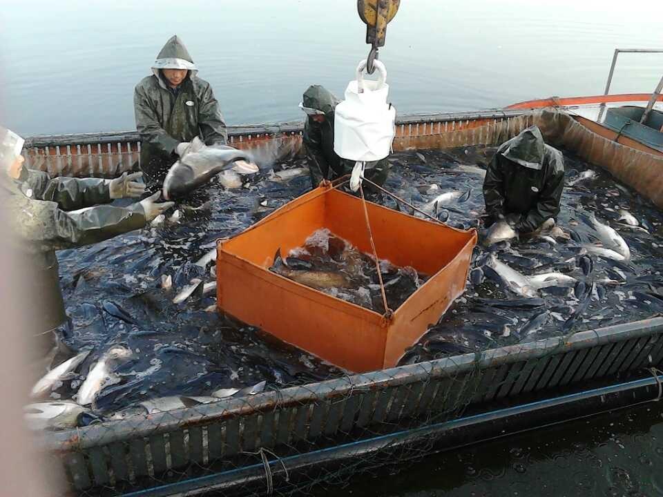 生物鱼肥,水库养殖大花白鲢鱼,活鱼,生物有机肥,养鱼技术。