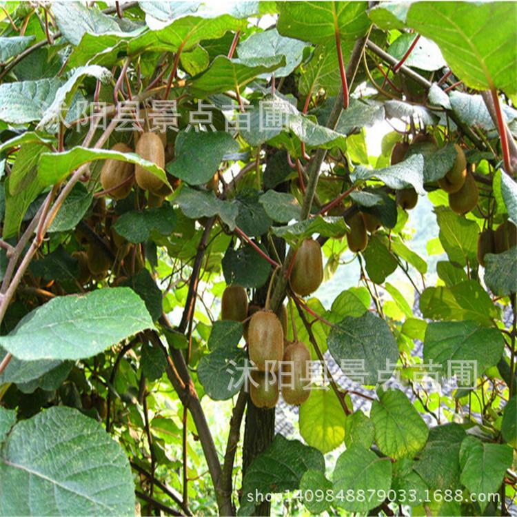 桃树苗 猕猴桃果树苗 地栽猕猴桃树苗紫美 猕猴桃苗当年结果 阿里巴巴