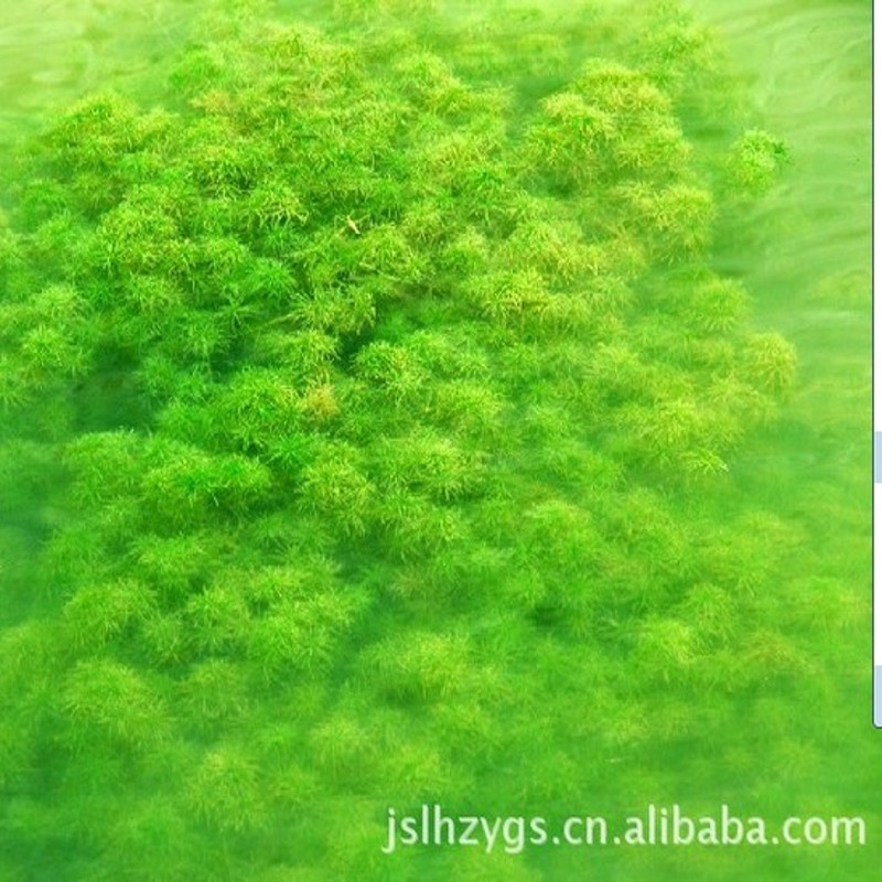Семена Grass carp in pond aquaculture on lobster and crab grass seed pool round Ye Heizao Cao Potamogeton, Elodea nuttallii Myriophyllum Ye Heizao , nuttallii