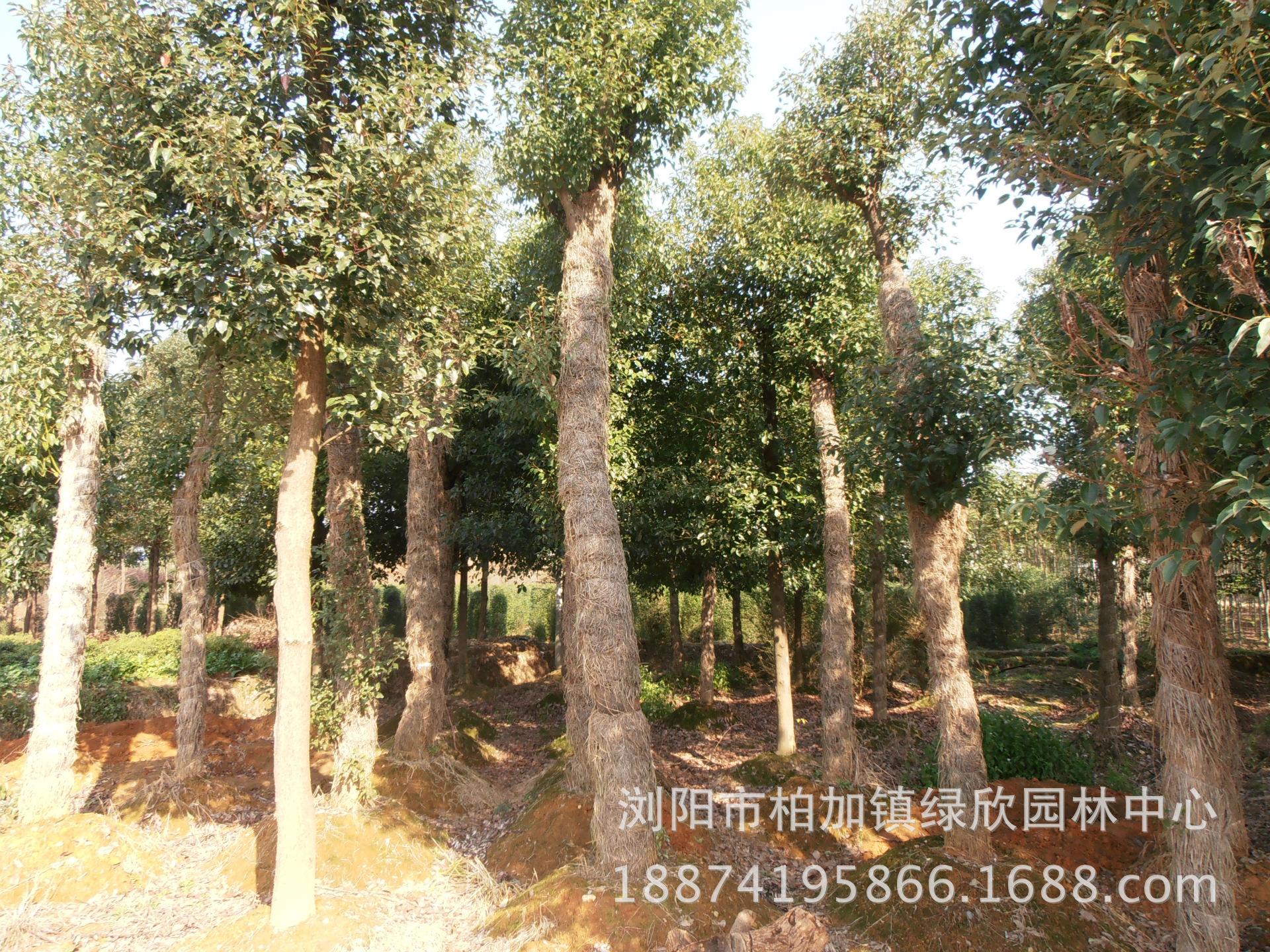 大量供应香樟大小规格苗米径1-50公分 园林植物小叶香樟量