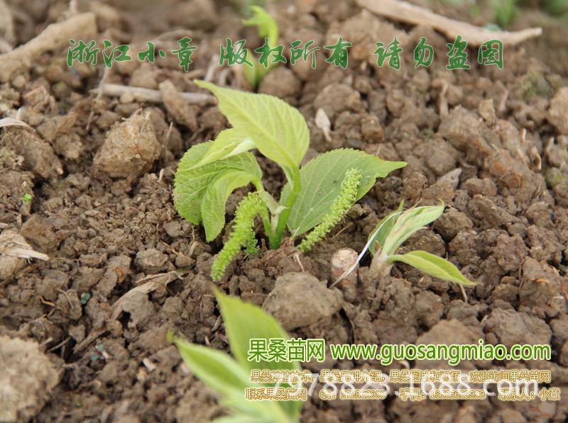 根接长果桑,长果桑真的果子很多,嫁接成熟后新发的芽都有的长果