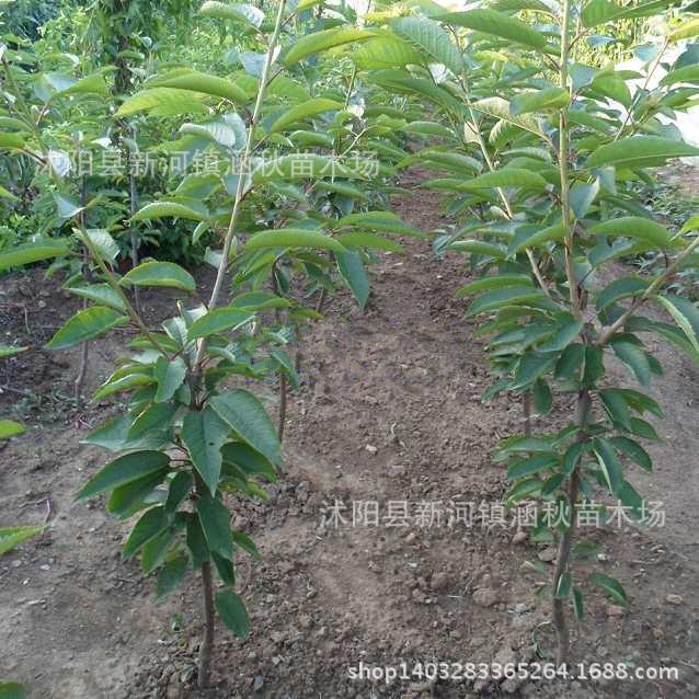 果树 批发大樱桃树苗 嫁接盆栽地栽庭院果树苗 苗木基地现起苗 樱桃苗