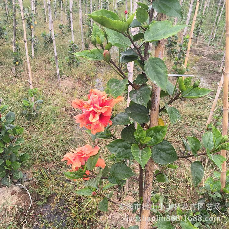 朱槿 木槿属扶桑佛桑 赤槿佛桑红木槿桑槿大红花状元红 路边绿化