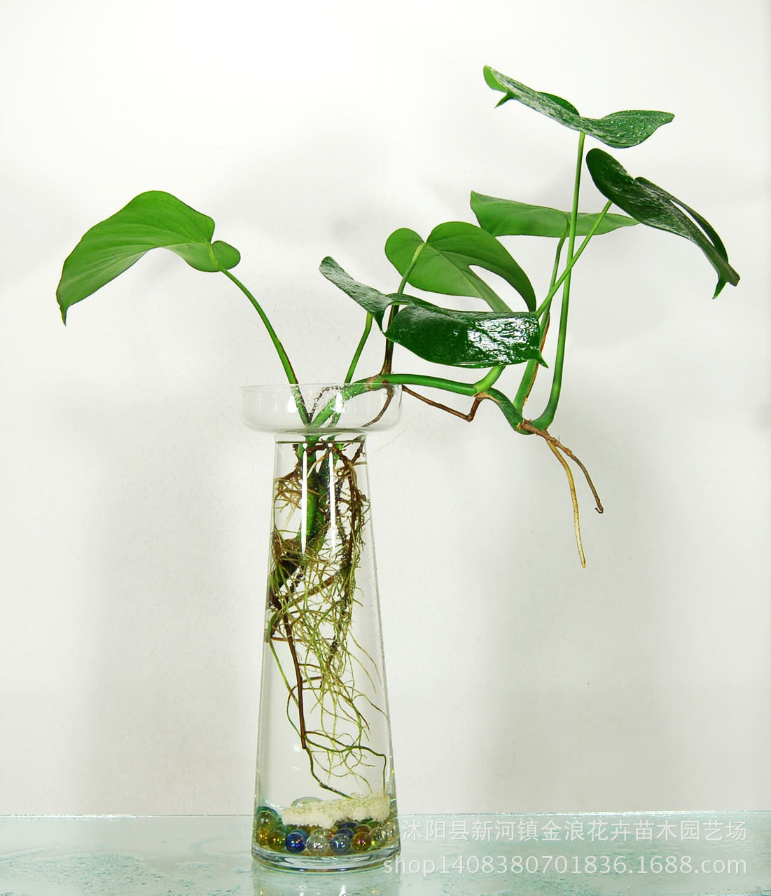 绿萝吊兰盆栽水培