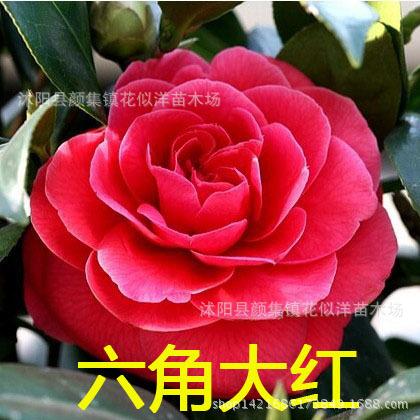 灌木 茶花苗盆栽 花卉花苗 当年开花 价格优 品种齐全盆栽茶花树 灌木