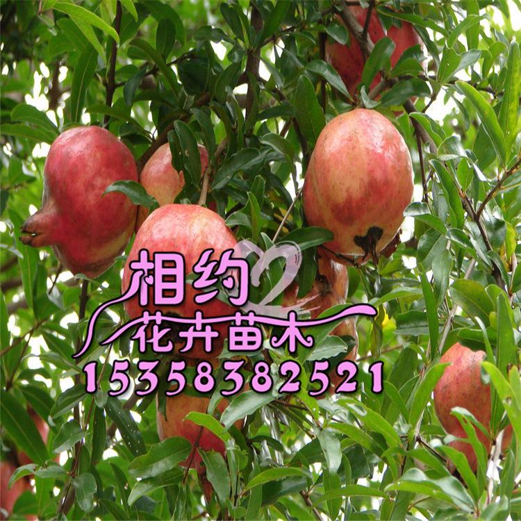 果树 基地石榴树苗 盆栽果树苗 大果型石榴苗批发 当年结果挂果 果树尽