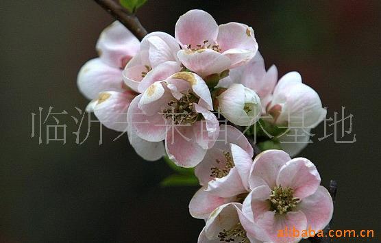 供应各种优质海棠花卉  海棠盆景,木瓜海棠,北美海棠