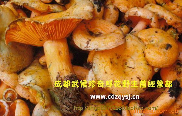 批发优质野生食用菌野生松菌