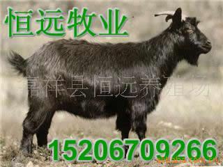 山东最大的黑山羊养羊场、河南养羊场、湖北养羊场