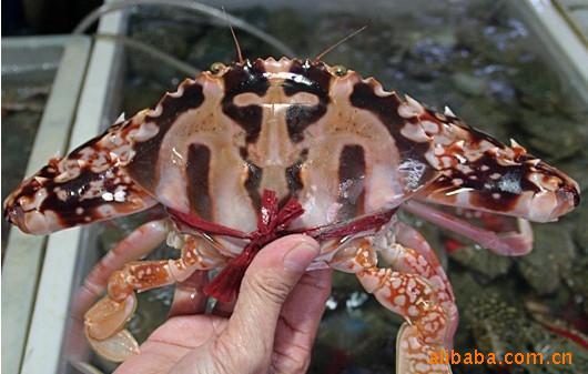 生猛海鲜 螃蟹 鲜活水产 红花蟹